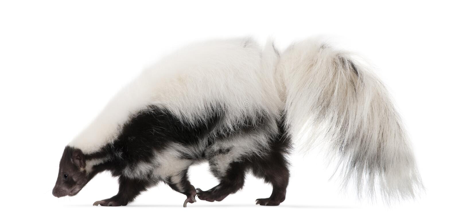 Striped Skunk, Mephitis Mephitis, 5 years old royalty free stock photo