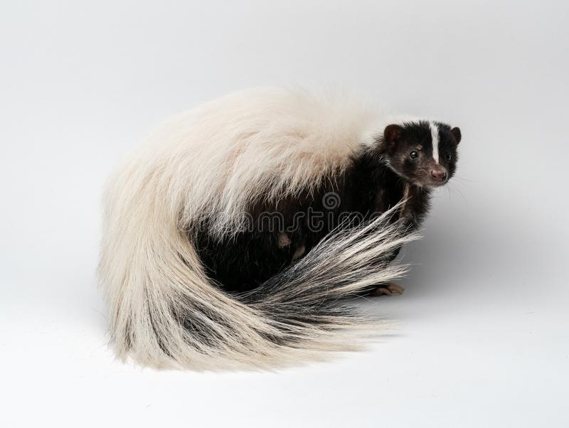 Striped Skunk - Mephitis mephitis in front of a white background royalty free stock photography