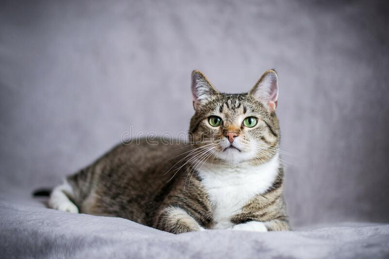 Striped smooth-haired European domestic cat. The cat lies and looks straight into the frame. Pet on a gray background stock image