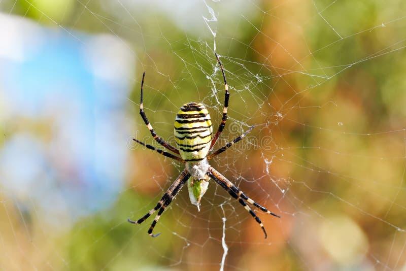 Striped spider Argiope bruennichi, wasp spider. Eats its prey in the net royalty free stock photos