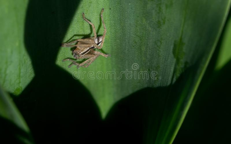 Striped spider on green leaf. A black and white striped spider hunting for prey in a wide leafed plant. Shot in the Maltese countryside royalty free stock photo