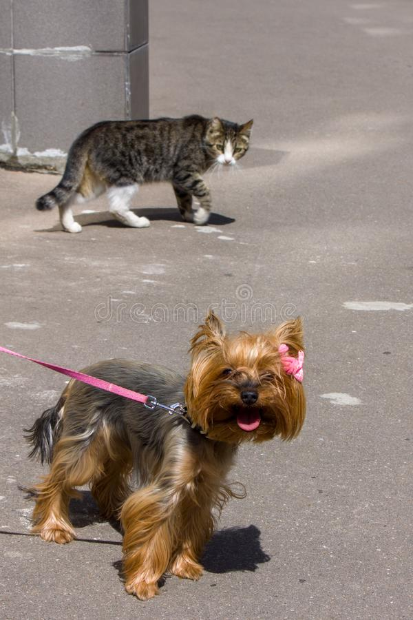 A striped stray cat walks around the merry Yorkshire Terrier with suspicion and apprehension. stock photo