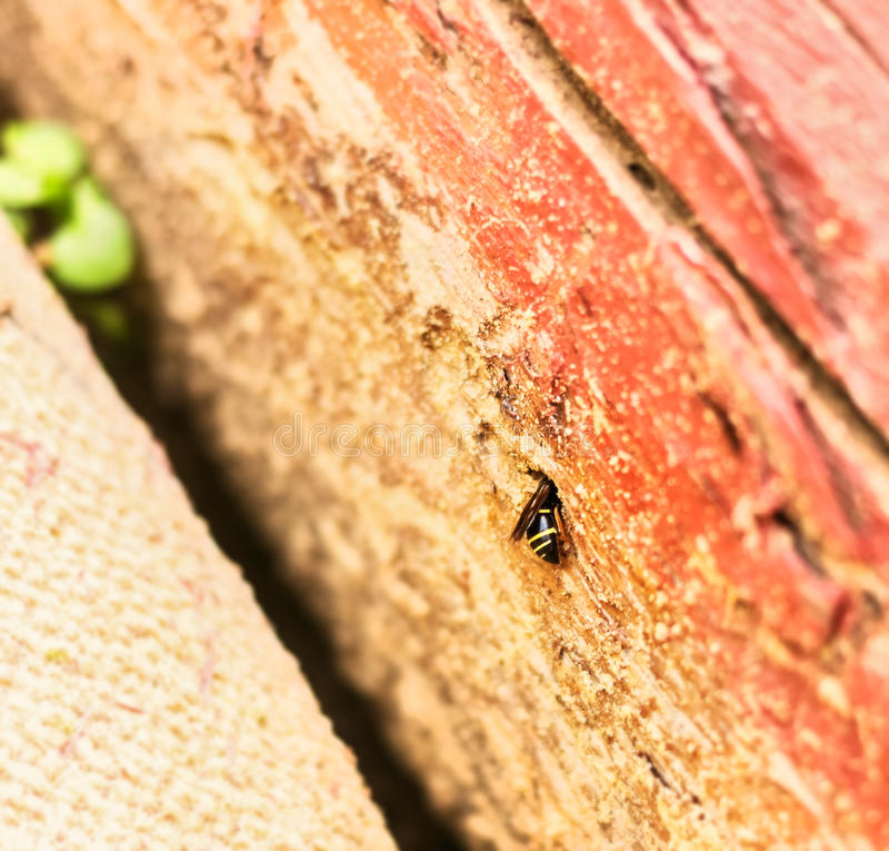 Striped wasp in wooden hole. Little striped wasp in wooden hole at day stock photography