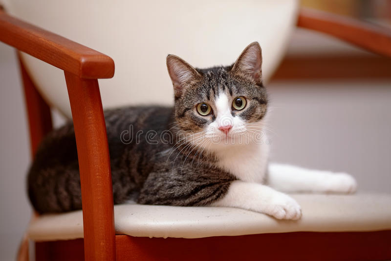 Striped with white the cat lies on a chair. stock photo