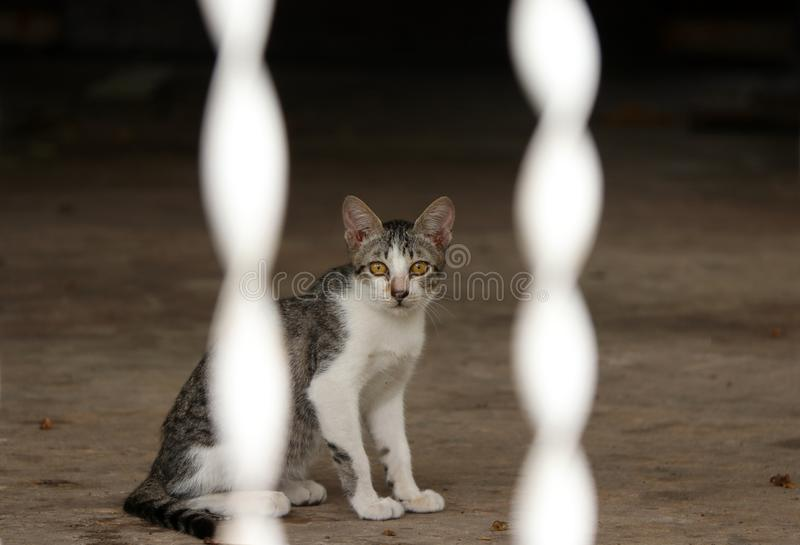 Striped with white color of cat sitting on the floor. cat is a small domesticated carnivorous mammal with soft fur. royalty free stock image