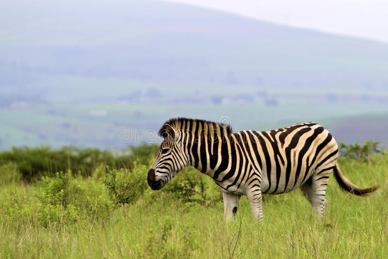 Download Stripes stock photo. Image of vacation, equine, safari - 24223174