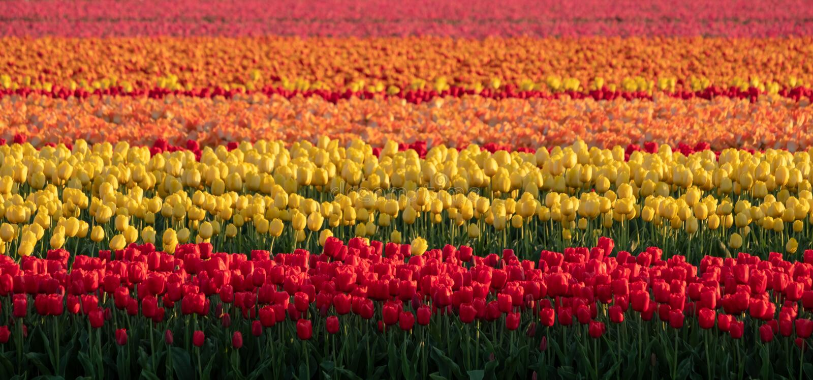 Stripes of colour: brightly coloured tulips reflect the evening light in a flower field near Lisse, Netherlands. Brightly coloured tulips reflect the evening royalty free stock photography
