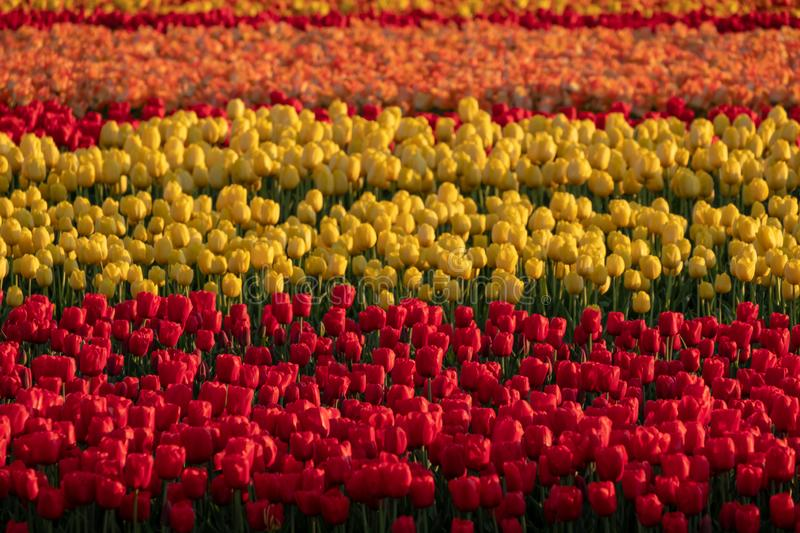 Stripes of colour: brightly coloured tulips reflect the evening light in a flower field near Lisse, Netherlands. Brightly coloured tulips reflect the evening stock photo