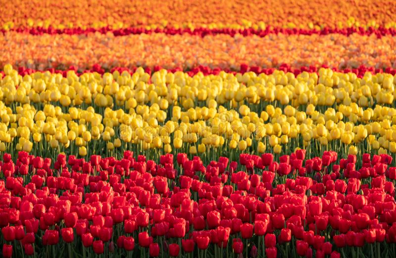 Stripes of colour: brightly coloured tulips reflect the evening light in a flower field near Lisse, Netherlands. Brightly coloured tulips reflect the evening stock photography