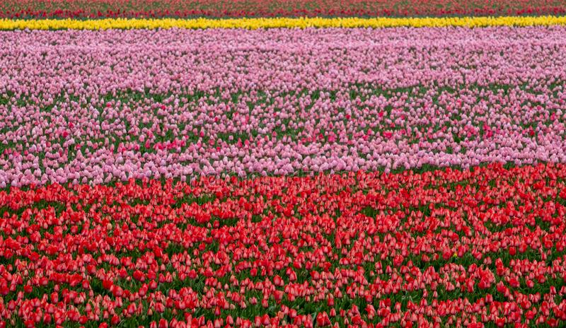 Stripes of colour: Multi coloured tulips growing in a flower field near Lisse, Netherlands. royalty free stock photo