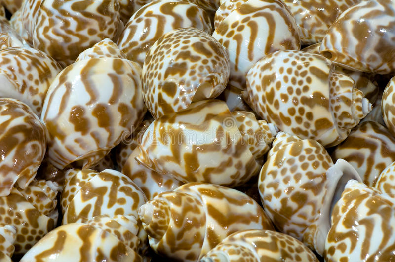 Download Stripes shellfish stock photo. Image of brown, object - 16152740