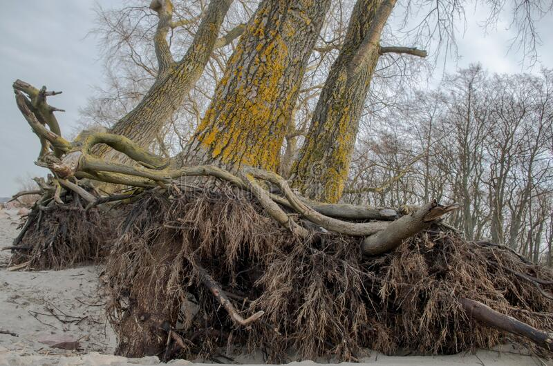 Stripped of sand and soil by hurricane and erosion branching roots and lower parts of adult trees. Whose gray trunks are overgrown with yellow fungi against royalty free stock photos