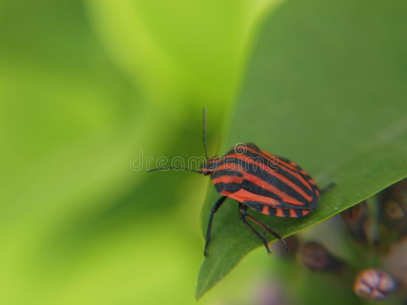 Stripy bug on Syringa leaf. Red and black stripy garden bug Graphosoma lineatum on a leaf of common lilac Syringa vulgaris closeup macro photo taken summer 2019 royalty free stock photos