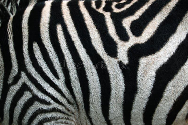 Striscia della zebra. La zebra barra la struttura del reticolo fotografia stock libera da diritti