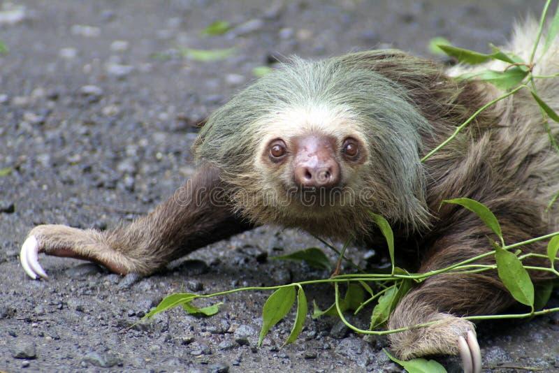 strisciare Due-piantato di bradipo immagini stock