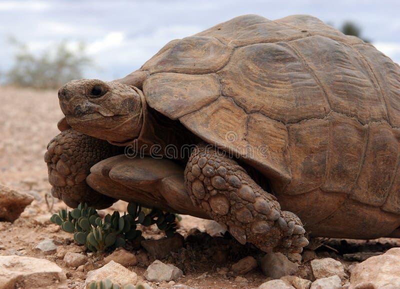 Strisciare enorme della tartaruga fotografie stock libere da diritti