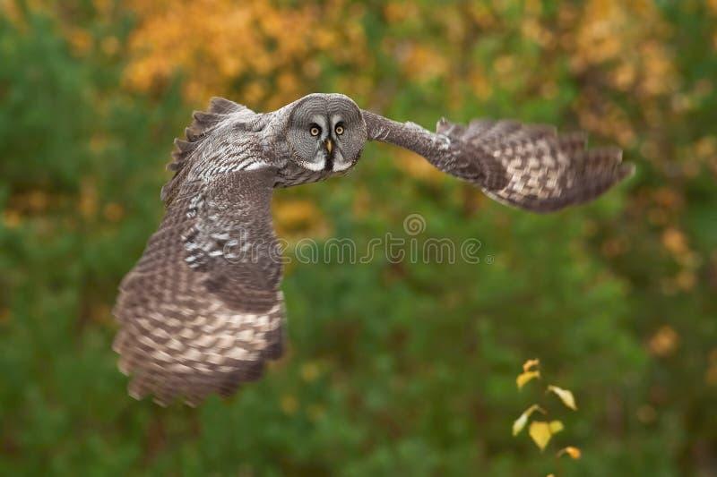 Strix nebulosa, Great grey owl stock photography