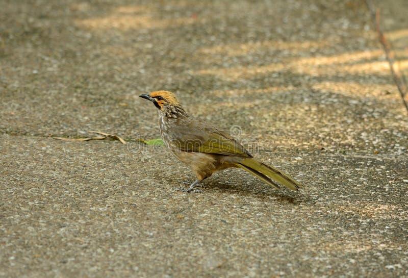 Stro-geleide Bulbul (Pycnonotus-zeylanicus) stock foto's