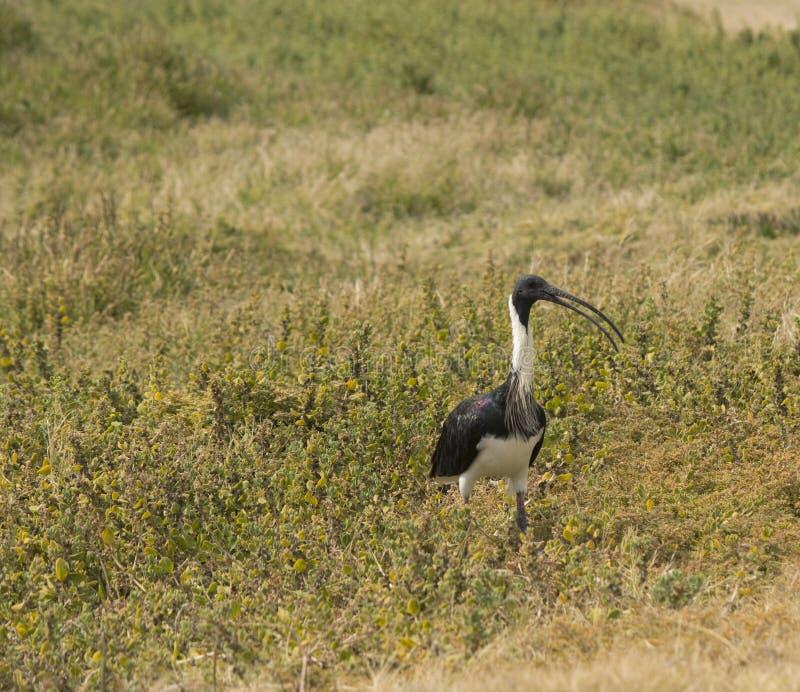 Stro-necked Ibis die (Threskiornis-spinicollis) uiteinden van groen grasonkruid eten op de zomerdag. stock fotografie