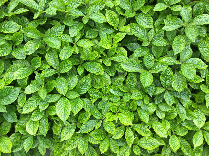Strobilanthes crispa green leaves showing texture of leaf. Good royalty free stock images