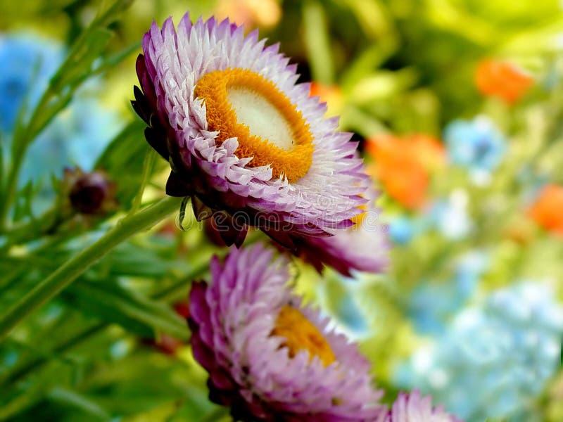 Stroh-Blumen in der vollen Blüte stockbilder