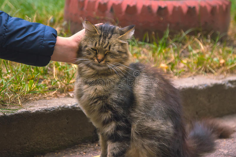 Stroking the Domestic dirty cat. Stroking the Domestic dirt cat with amazing look portrait stock photos