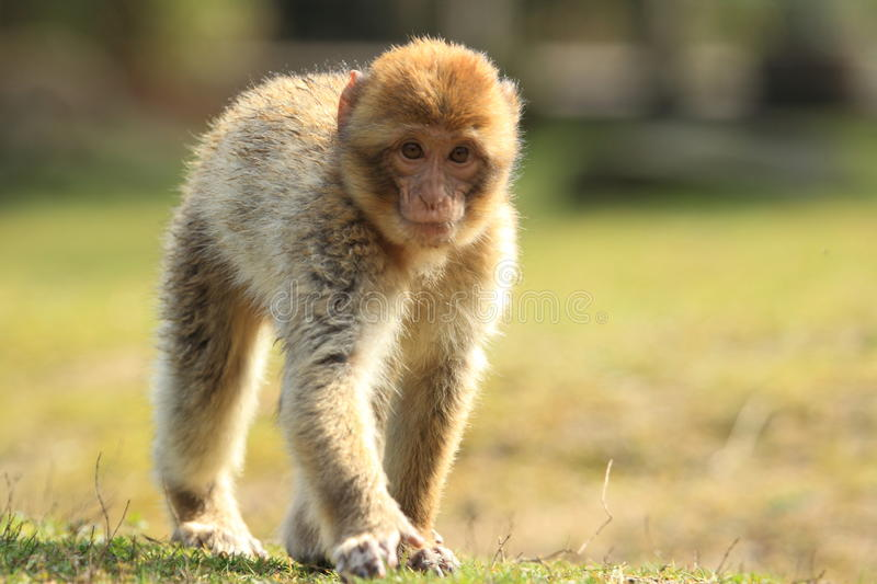 Strolling barbary macaque. The strolling barbary macaque juvenile stock images