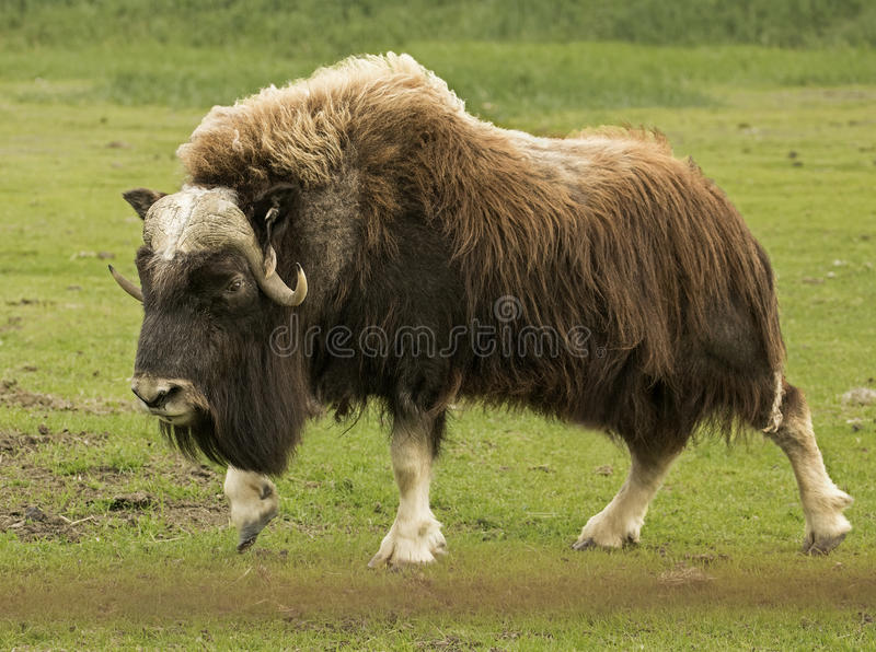 Strolling Musk Ox stock images