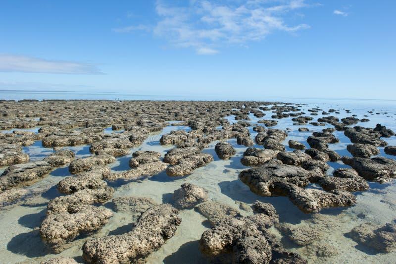 Stromalotites världsarv Australien arkivbild