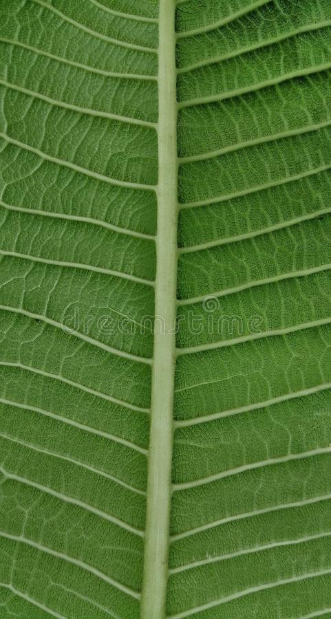 Stromatana av ett blad och bladåderna royaltyfri foto