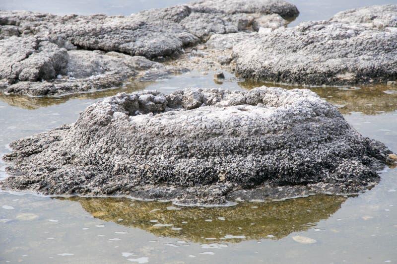 Stromatolite: Fósiles raros fotos de archivo libres de regalías