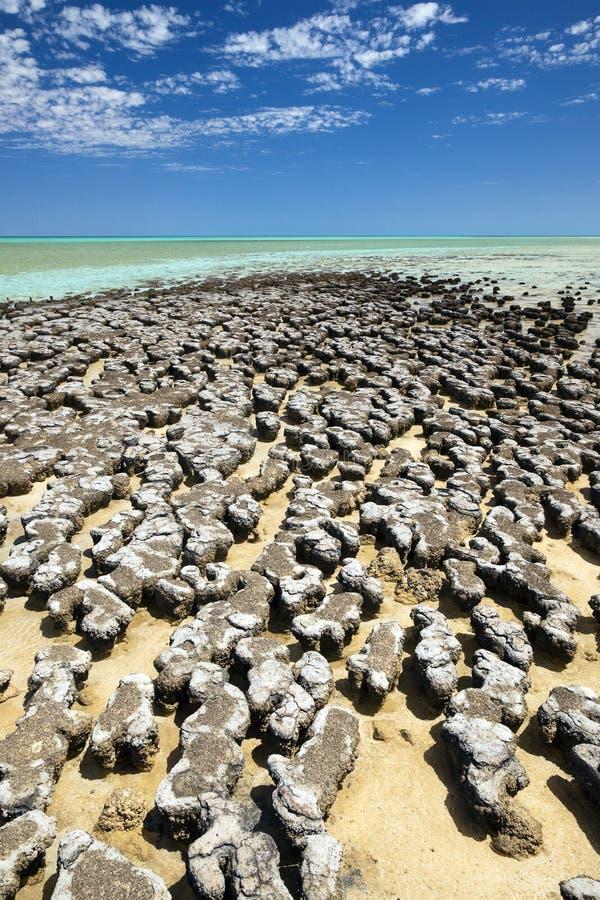 stromatolites 免版税库存图片
