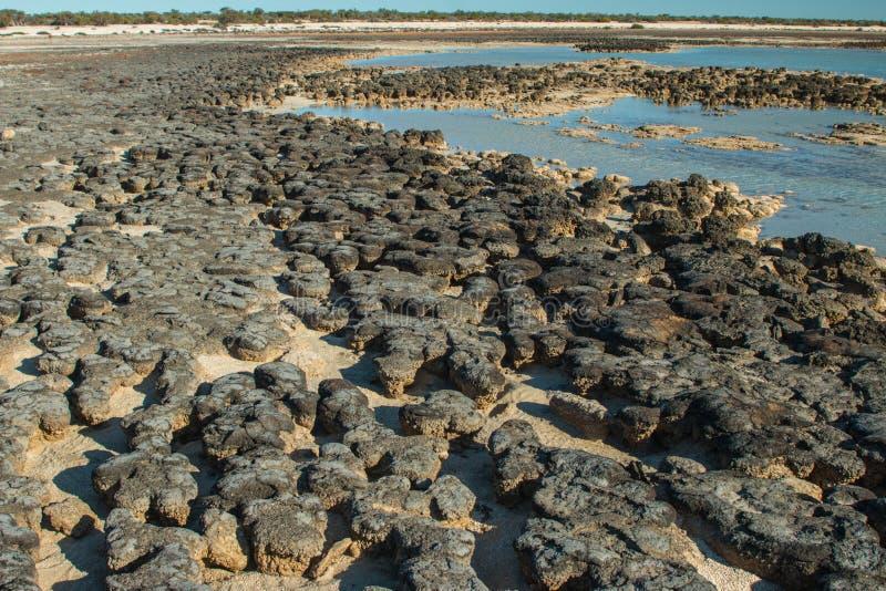 stromatolites 免版税库存照片
