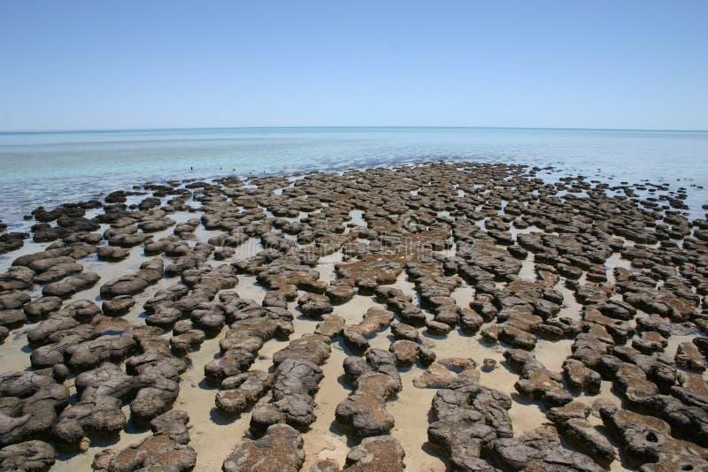 Stromatolites, Australie occidentale image libre de droits