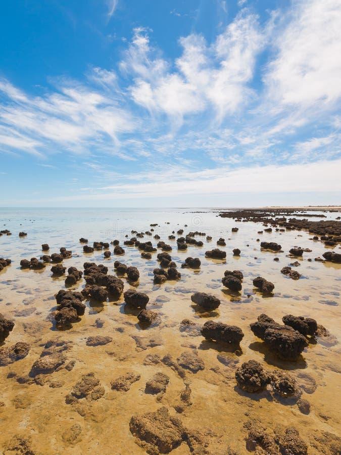 Stromatolites w terenie rekin zatoka, zachodnia australia australasia obraz royalty free