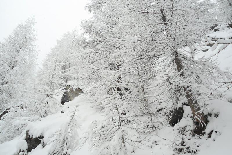 Stromy wysokogórski skłon z iglastymi drzewami w bielu mrozie fotografia stock
