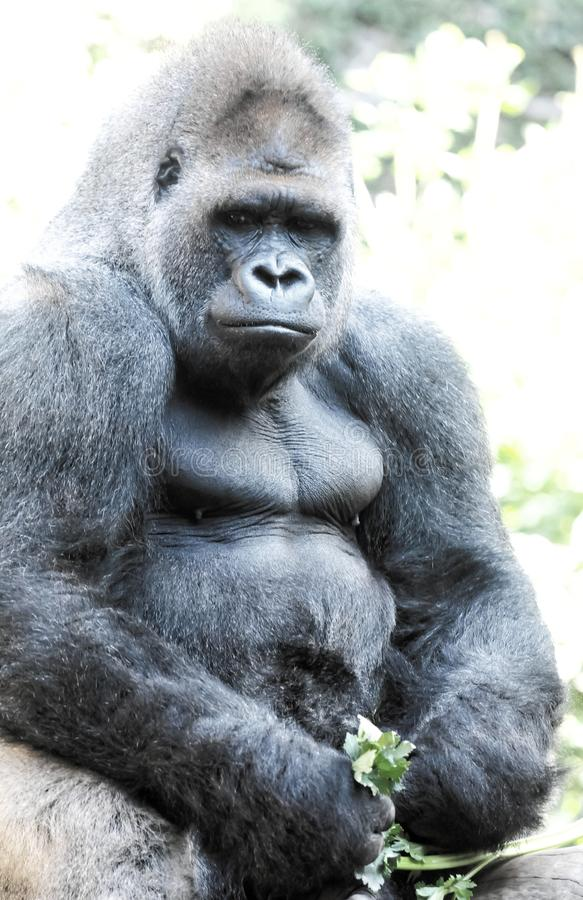 Strong Adult Black Gorilla. On the Green Floor stock image
