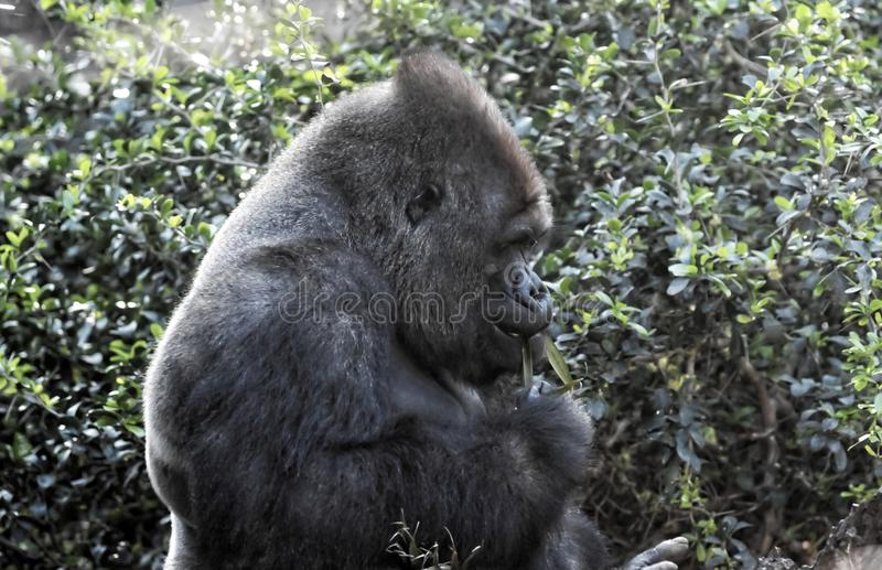 Strong Adult Black Gorilla. On the Green Floor royalty free stock image