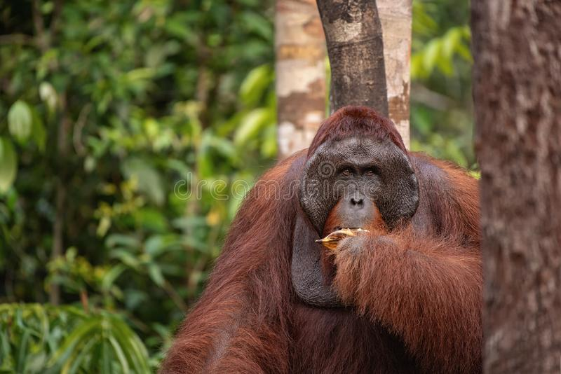 Strong and big male orangutan eat banana. Strong and big male Orangutan orang-utan in his natural environment in the rainforest on Borneo Kalimantan island with stock images