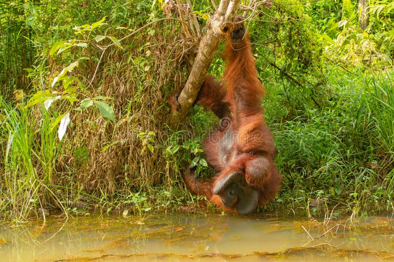 Strong and big male orangutan drink. Strong and big male Orangutan orang-utan in his natural environment in the rainforest on Borneo Kalimantan island with trees stock image