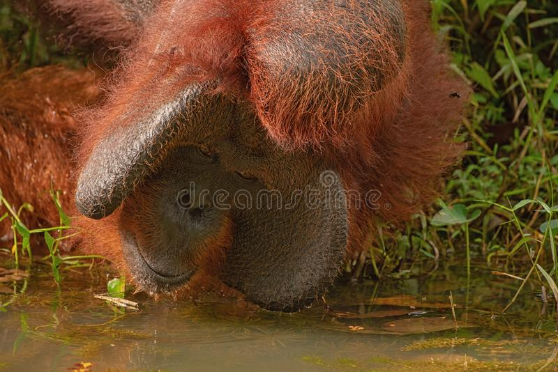 Strong and big male orangutan drink. Strong and big male Orangutan orang-utan in his natural environment in the rainforest on Borneo Kalimantan island with trees royalty free stock photography