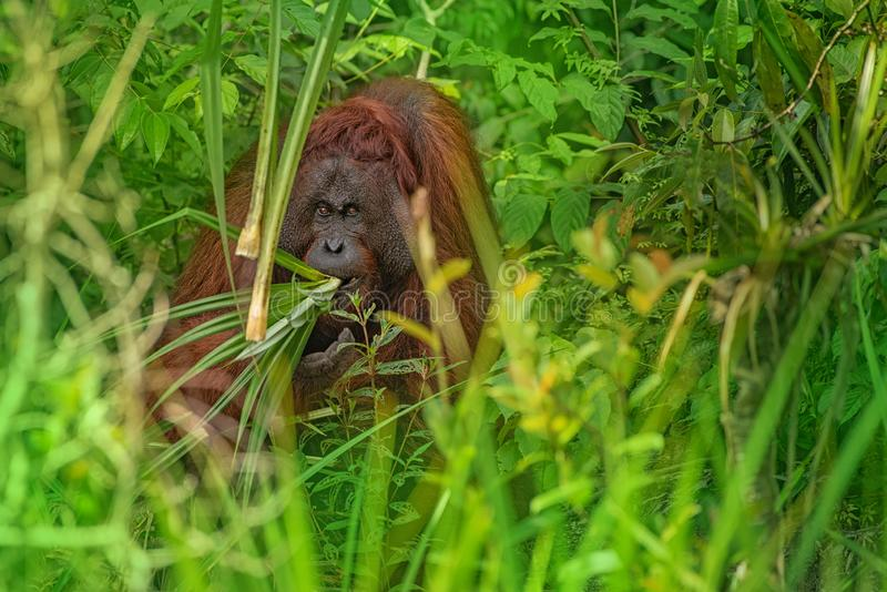 Strong and big male orangutan. Orang-utan in his natural environment in the rainforest on Borneo Kalimantan island with trees and palms behind royalty free stock photo