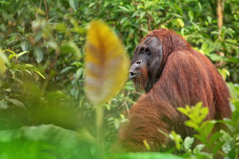 Strong and big male orangutan. Orang-utan in his natural environment in the rainforest on Borneo Kalimantan island with trees and palms behind royalty free stock image