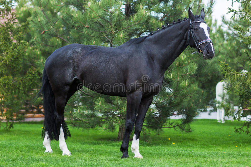 Strong black stallion standing alone against greenery in the summer stock images