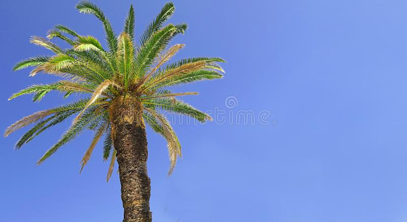 Strong broad palmtree with blue sky in the background royalty free stock images
