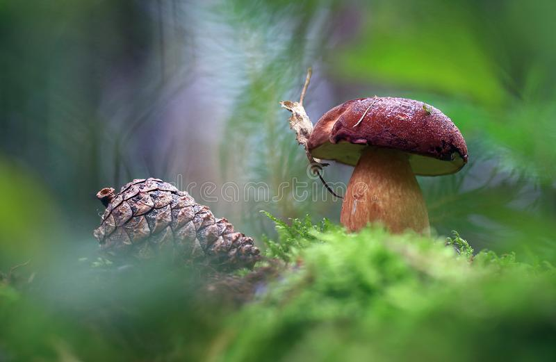 Next to the lump. Strong brown mushroom with a leaf on the hat,near the cones royalty free stock photos