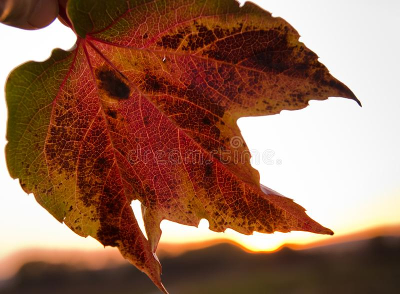 A strong coloured maple leaf in the evening sunset of autumn. Yellow, golden and red coloured stock images