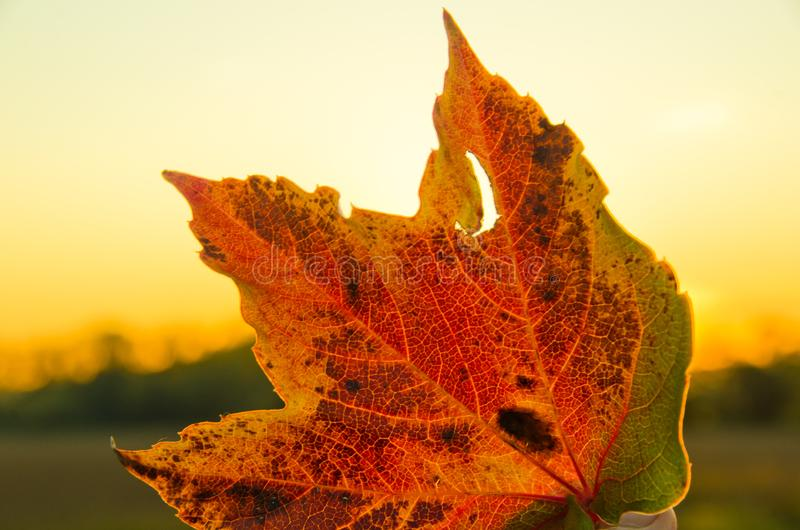 A strong coloured maple leaf in the evening sunset of autumn. Yellow, golden and red coloured royalty free stock photography