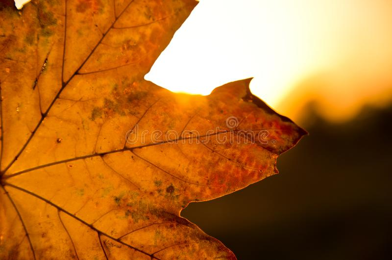 A strong coloured maple leaf in the evening sunset of autumn. Yellow, golden and red coloured royalty free stock image