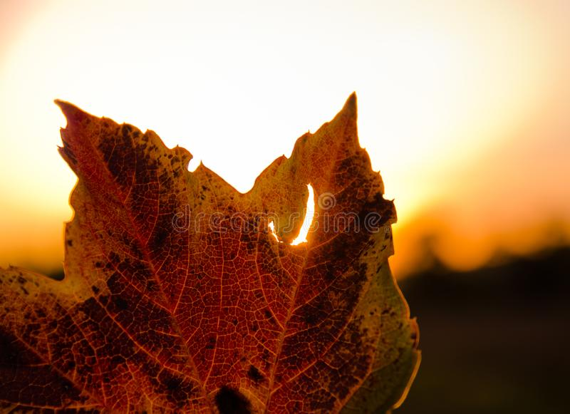 A strong coloured maple leaf in the evening sunset of autumn. Yellow, golden and red coloured stock photo